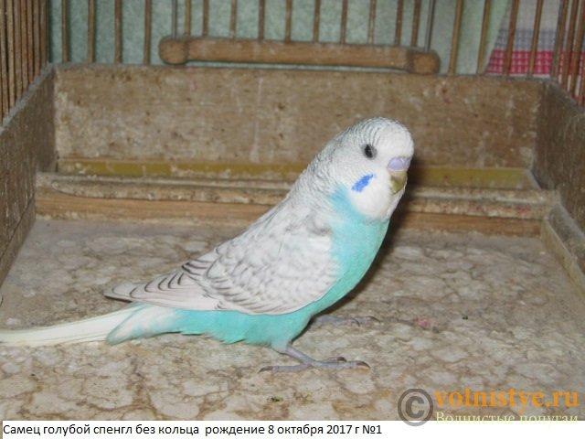 Волнистые молоденькие попугайчики для разговора - IMG_0452.JPG