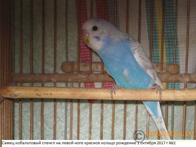 Волнистые молоденькие попугайчики для разговора - IMG_0440.JPG