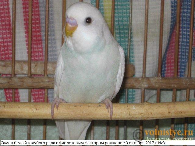 Волнистые молоденькие попугайчики для разговора - IMG_0442.JPG