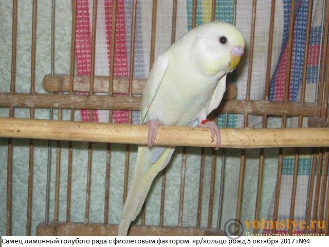 Волнистые молоденькие попугайчики для разговора - IMG_0460.JPG