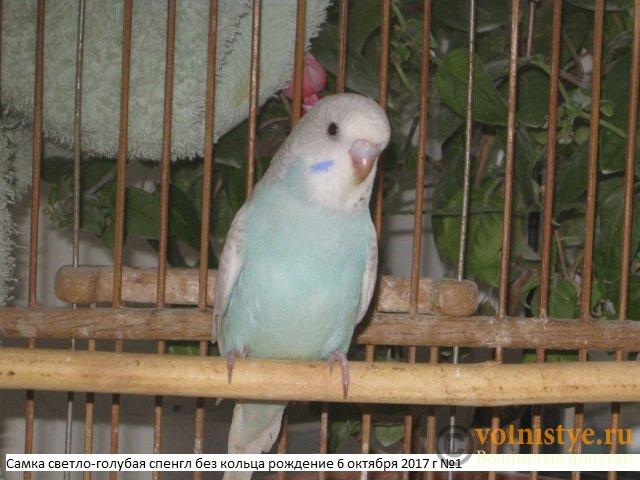 Волнистые молоденькие попугайчики для разговора - IMG_0425.JPG