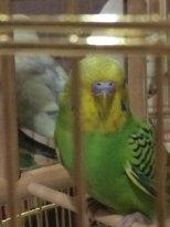 волнистый попугай простудился (что делать?) - 897E4281-FC90-4D04-B2AD-509068AB67D7.jpeg