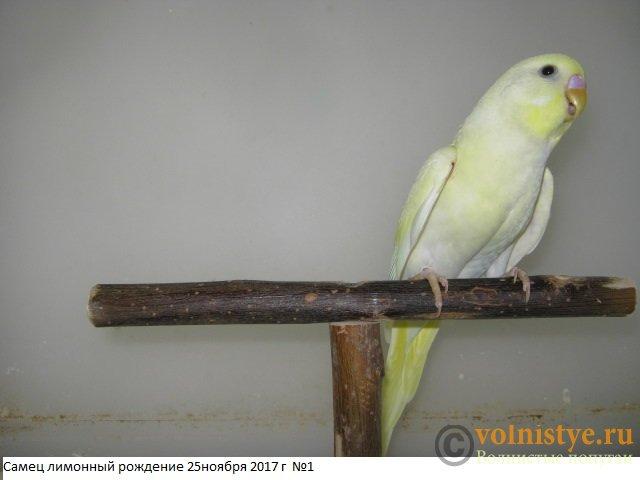 Волнистые молоденькие попугайчики для разговора - IMG_0813.JPG