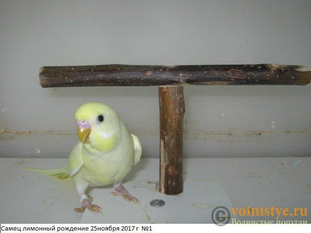 Волнистые молоденькие попугайчики для разговора - IMG_0814.JPG