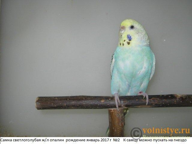 Волнистые молоденькие попугайчики для разговора - IMG_0874.JPG