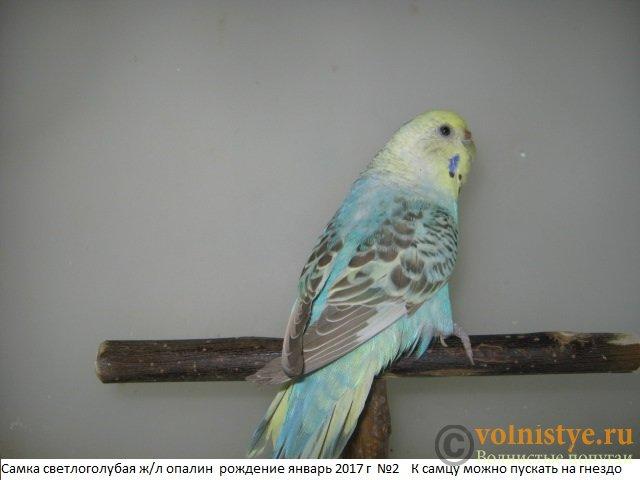 Волнистые молоденькие попугайчики для разговора - IMG_0871.JPG