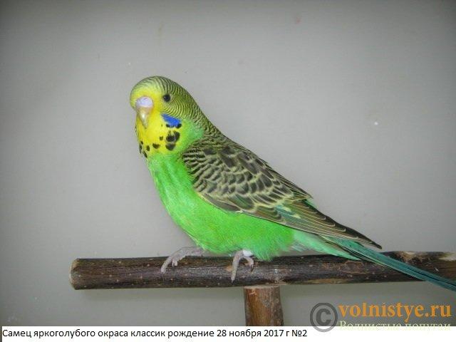 Волнистые попугаи выставочного типа молодежь Москва - IMG_0845.JPG