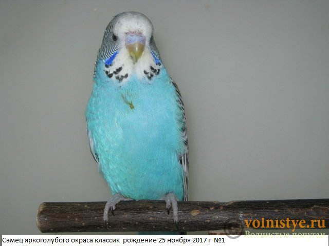 Волнистые попугаи выставочного типа молодежь Москва - IMG_0855.JPG