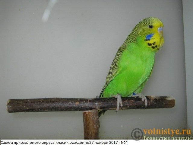 Волнистые попугаи выставочного типа молодежь Москва - IMG_0819.JPG