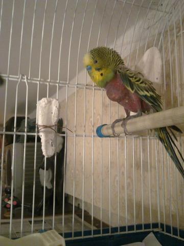 Ветом для попугаев волнистых
