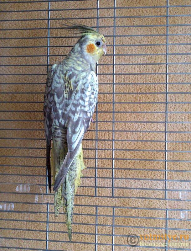 Определение пола и возраста попугаев корелла - 1335272_original.jpg