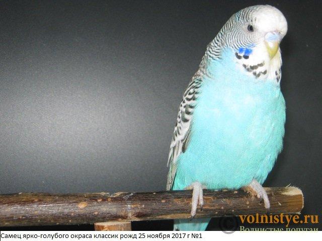 Волнистые попугаи выставочного типа молодежь Москва - IMG_0936.JPG