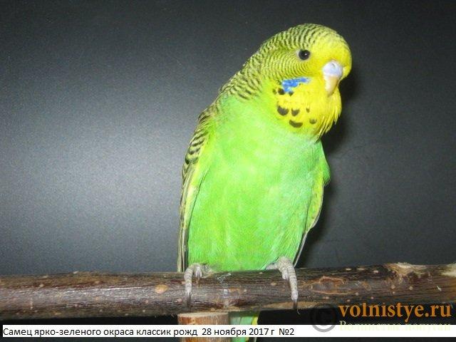 Волнистые попугаи выставочного типа молодежь Москва - IMG_0894.JPG