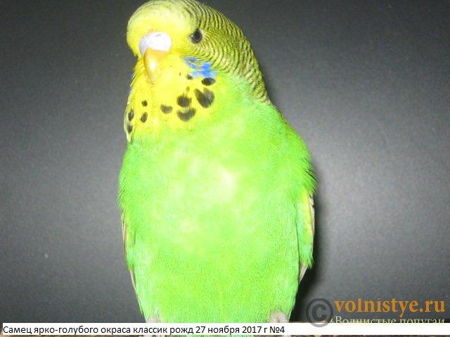 Волнистые попугаи выставочного типа молодежь Москва - IMG_0924.JPG