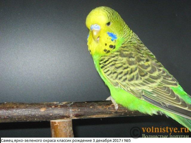 Волнистые попугаи выставочного типа молодежь Москва - IMG_0949.JPG