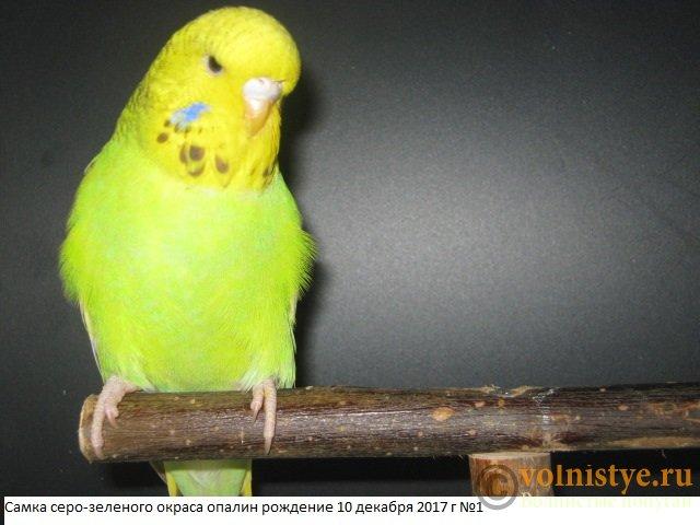 Волнистые попугаи выставочного типа молодежь Москва - IMG_0915.JPG