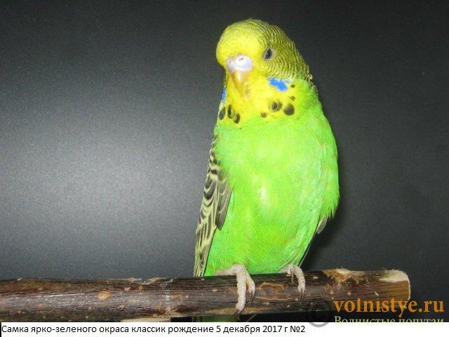 Волнистые попугаи выставочного типа молодежь Москва - IMG_0956.JPG