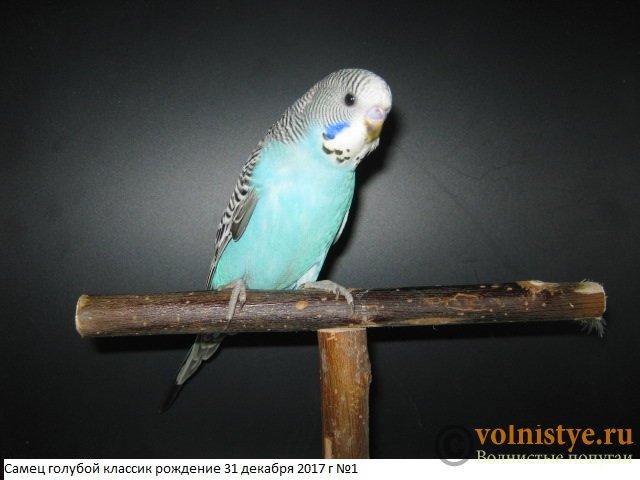 Волнистые молоденькие попугайчики для разговора - IMG_1029.JPG