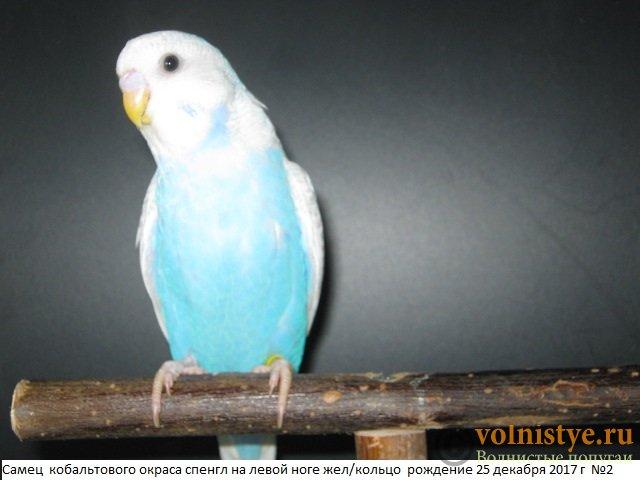Волнистые молоденькие попугайчики для разговора - IMG_0997.JPG
