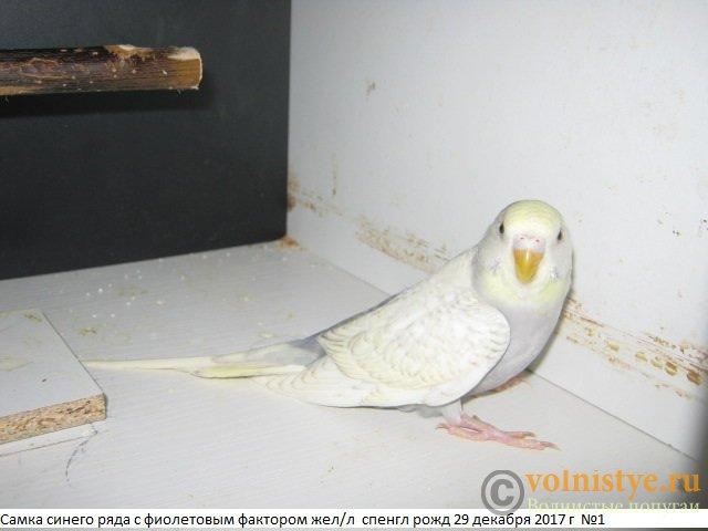 Волнистые молоденькие попугайчики для разговора - IMG_0985.JPG