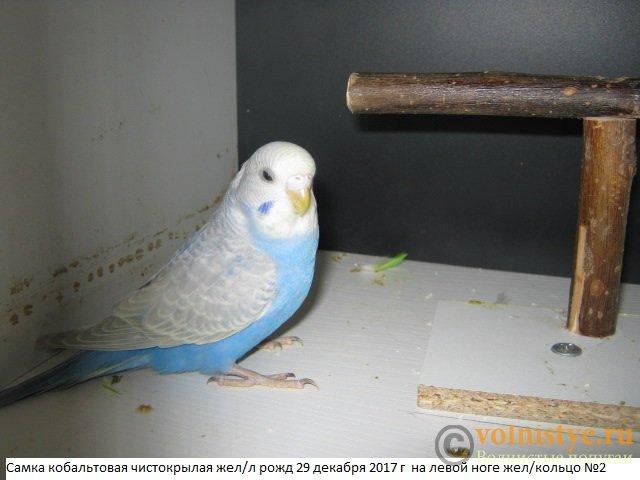 Волнистые молоденькие попугайчики для разговора - IMG_1021.JPG