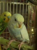 Окрасы волнистых попугаев - IMG_20180209_104433.jpg