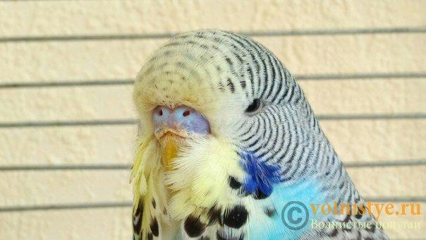 Подскажите, у попугая клещ? - 2 - I5bGTsBxuxs.jpg