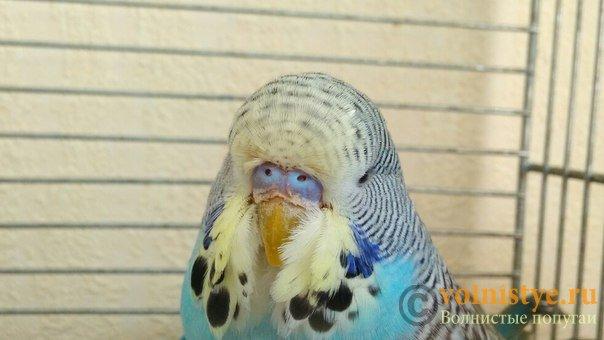 Подскажите, у попугая клещ? - 2 - u3YO-dzWdKM.jpg