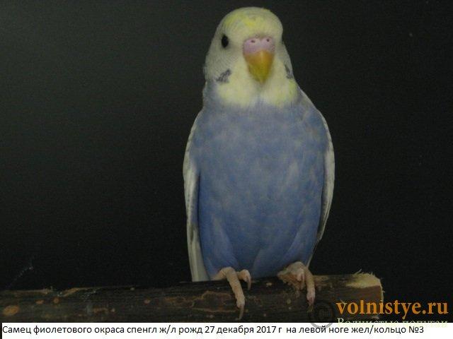 Волнистые молоденькие попугайчики для разговора - IMG_1052.JPG