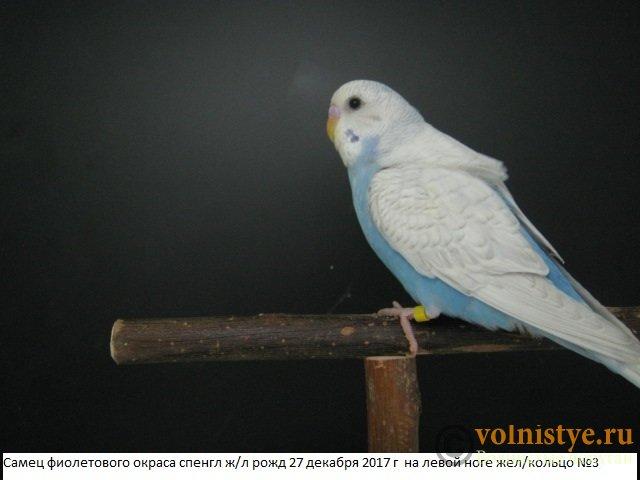 Волнистые молоденькие попугайчики для разговора - IMG_1037.JPG