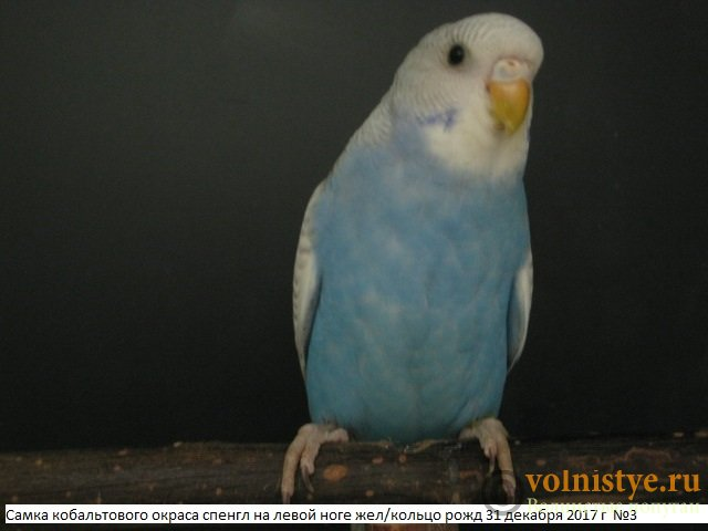 Волнистые молоденькие попугайчики для разговора - IMG_1061.JPG