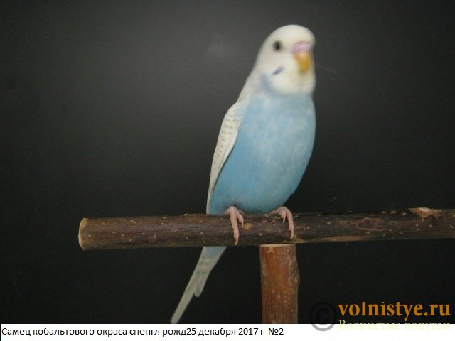 Волнистые молоденькие попугайчики для разговора - IMG_1038.JPG