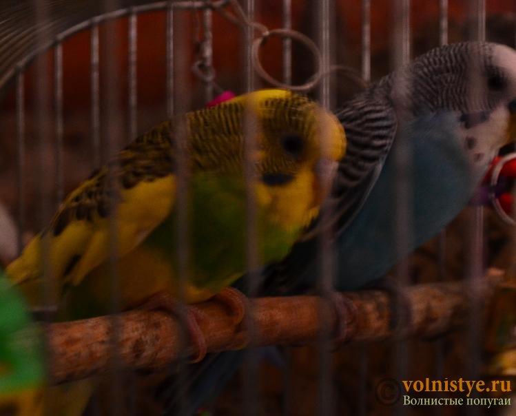 Помогите понять что с попугаем - DSC_0547.JPG