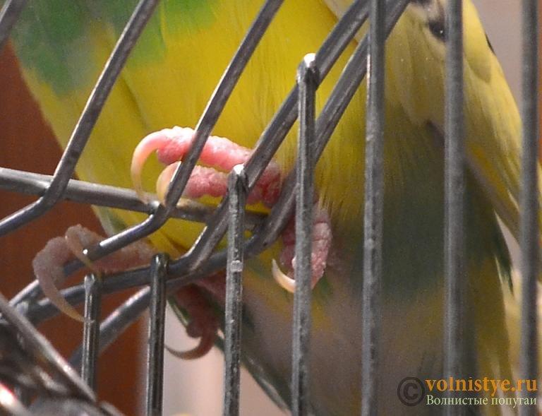 Помогите понять что с попугаем - DSC_0560.JPG