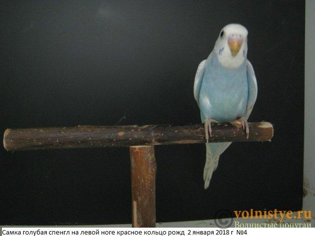 Волнистые молоденькие попугайчики для разговора - IMG_1087.JPG