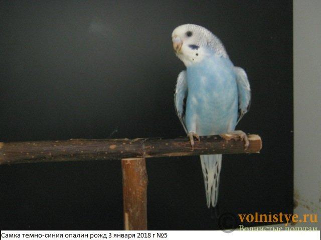 Волнистые молоденькие попугайчики для разговора - IMG_1104.JPG