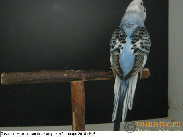 Волнистые молоденькие попугайчики для разговора - IMG_1101.JPG