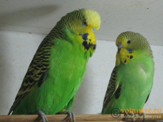 Волнистые попугаи выставочного типа молодежь Москва - IMG_1130.JPG