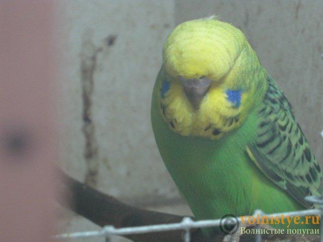 Волнистые попугаи выставочного типа молодежь Москва - IMG_1109.JPG
