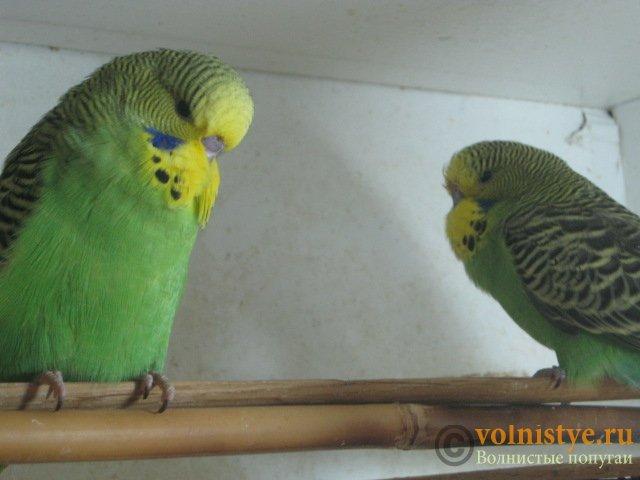 Волнистые попугаи выставочного типа молодежь Москва - IMG_1128.JPG