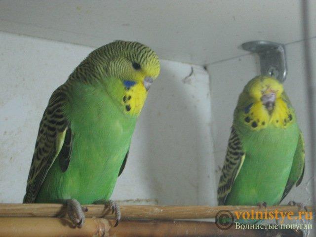 Волнистые попугаи выставочного типа молодежь Москва - IMG_1131.JPG