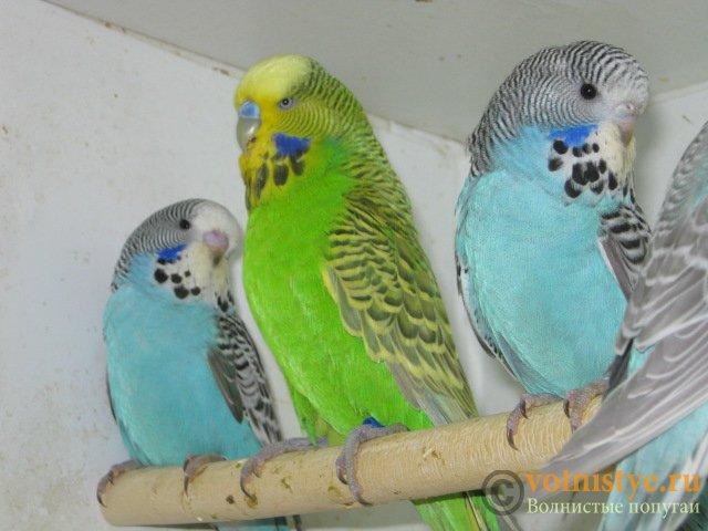 Волнистые попугаи выставочного типа молодежь Москва - IMG_1147.JPG