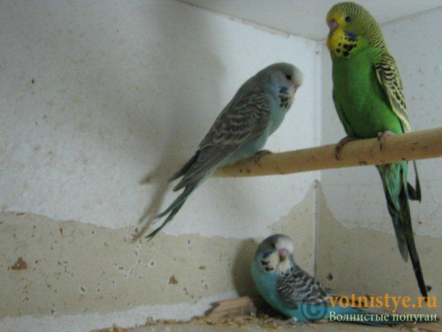Волнистые попугаи выставочного типа молодежь Москва - IMG_1143.JPG