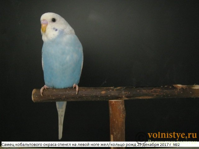 Волнистые молоденькие попугайчики для разговора - IMG_1066.JPG