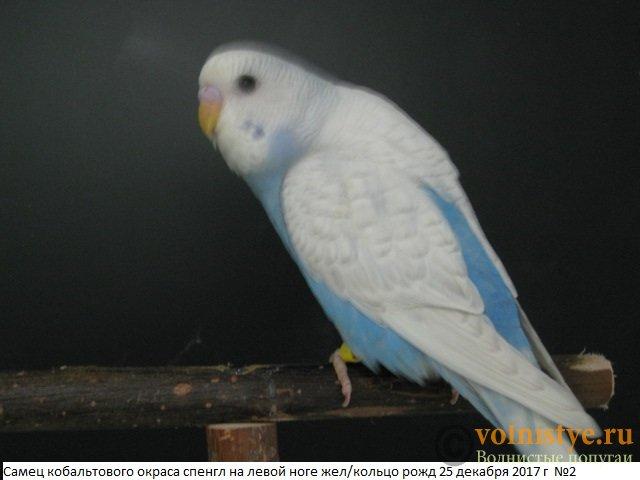 Волнистые молоденькие попугайчики для разговора - IMG_1069.JPG