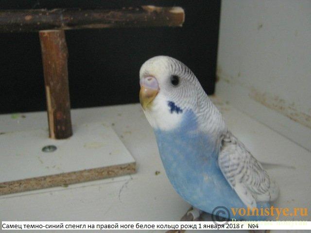 Волнистые молоденькие попугайчики для разговора - IMG_1090.JPG