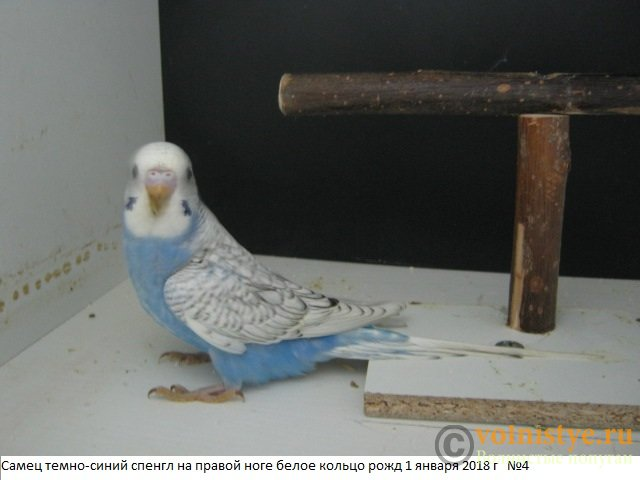 Волнистые молоденькие попугайчики для разговора - IMG_1091.JPG