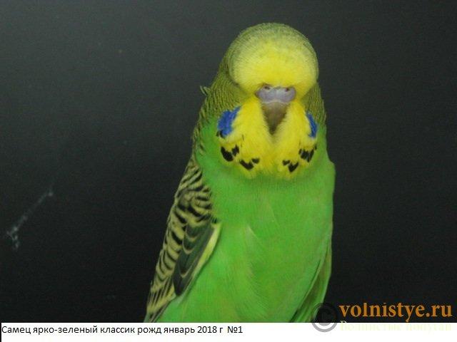 Волнистые попугаи выставочного типа молодежь Москва - IMG_1169.JPG