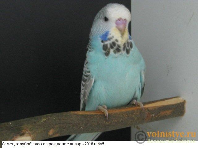 Волнистые попугаи выставочного типа молодежь Москва - IMG_1232.JPG