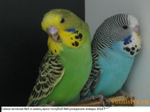 Волнистые попугаи выставочного типа молодежь Москва - IMG_1227.JPG